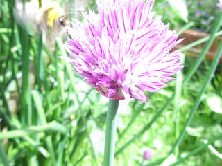 Chive Flower Bee
