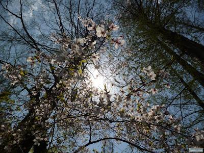 桜とメタセコイアと太陽
