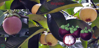 mangosteen fruit; mangosteen