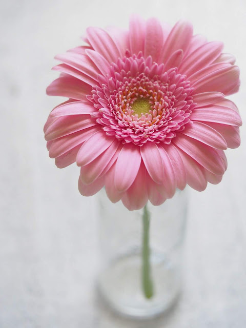 Pink Gerbera Daisy | Photo by Plush Design Studio via Pexels