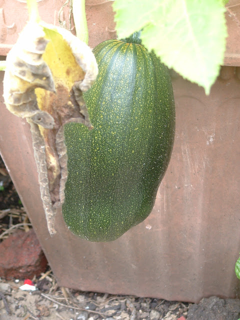 Close up of an elongated green pumpkin, growing in a planter