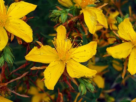 Flowers of St. John's Wort