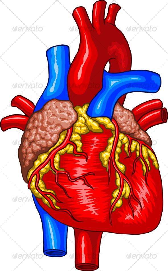 free clipart human heart - photo #39