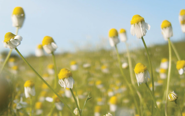 Chamomile Effects