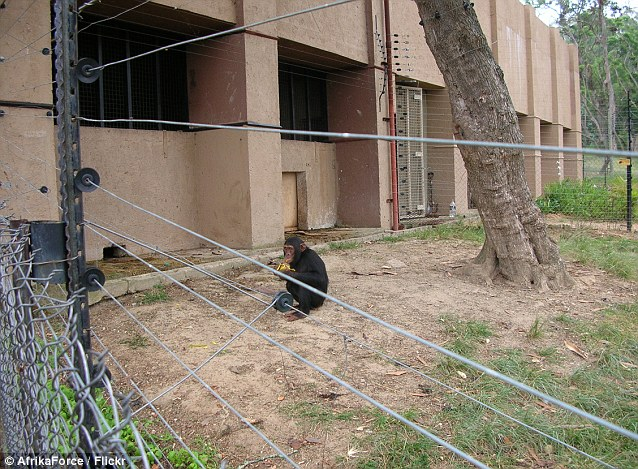 Thai Panda: 'My son has loved chimps since he was a child': Mother speaks out as American ...