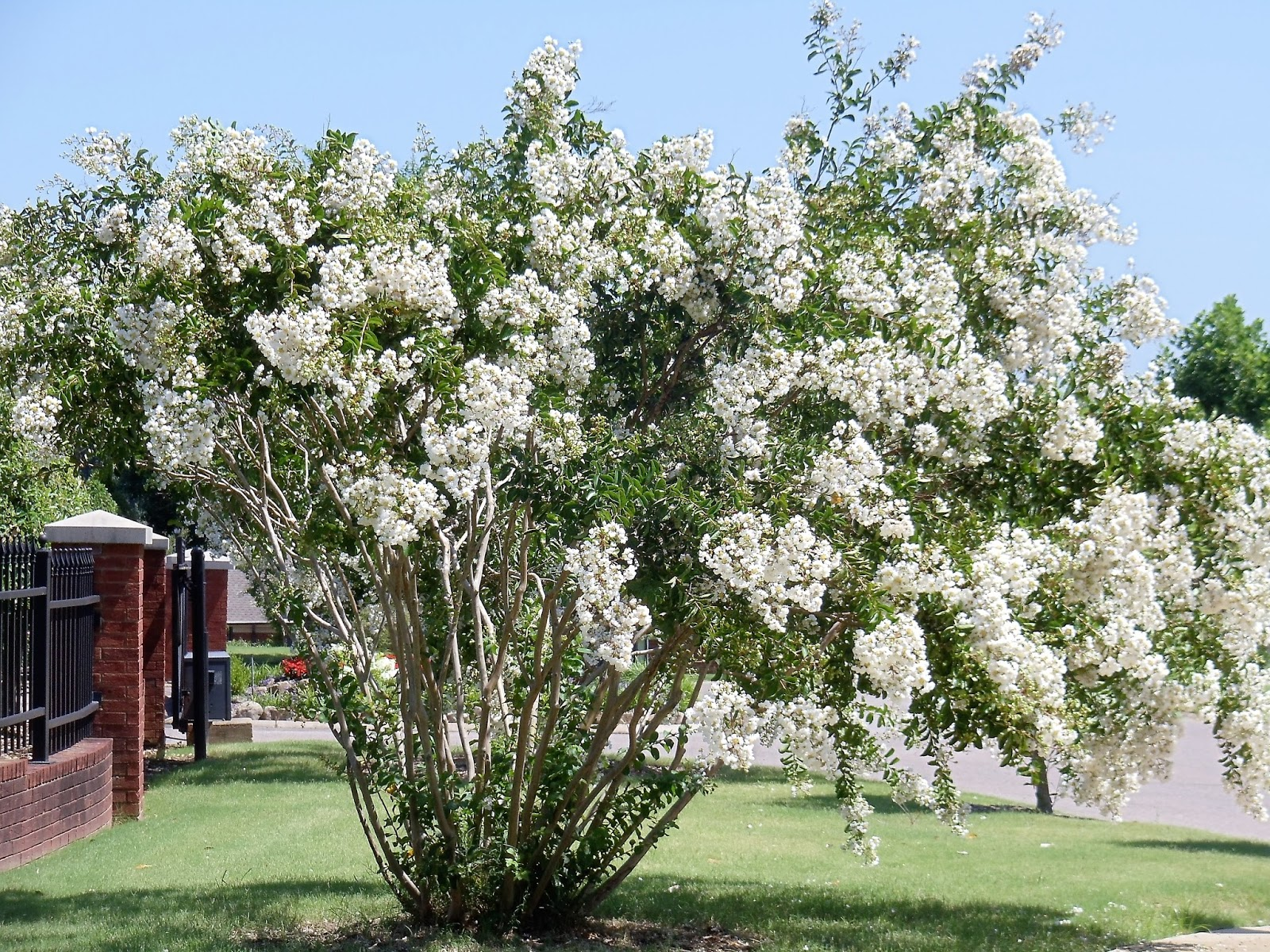 The Smith S Bennie And Patsy Crape Myrtle Trees