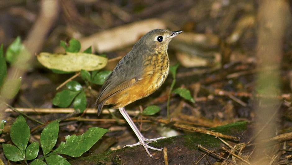 Speckle breasted Antpitta