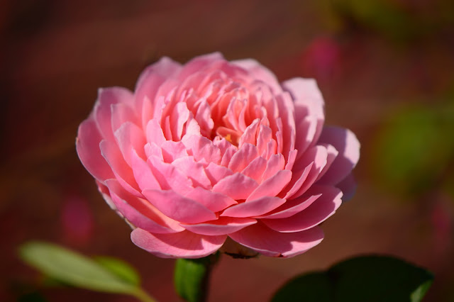 rose the Alnwick Rose, david austin rose, amy myers, small sunny garden, desert garden, amy myers photography