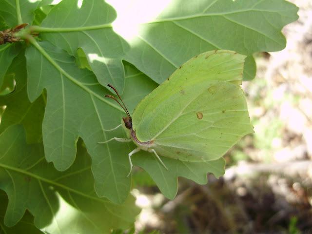 Mariposa Gonepterix rhamni