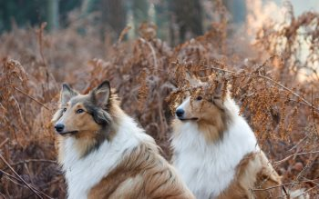 Wallpaper: Collie Dogs