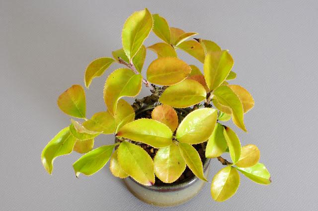 カリン-G1-2(花梨盆栽)Chaenomeles sinensis bonsai
