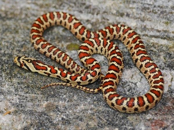 Serpenti di tutto e di pi colubro leopardino for Cervone serpente