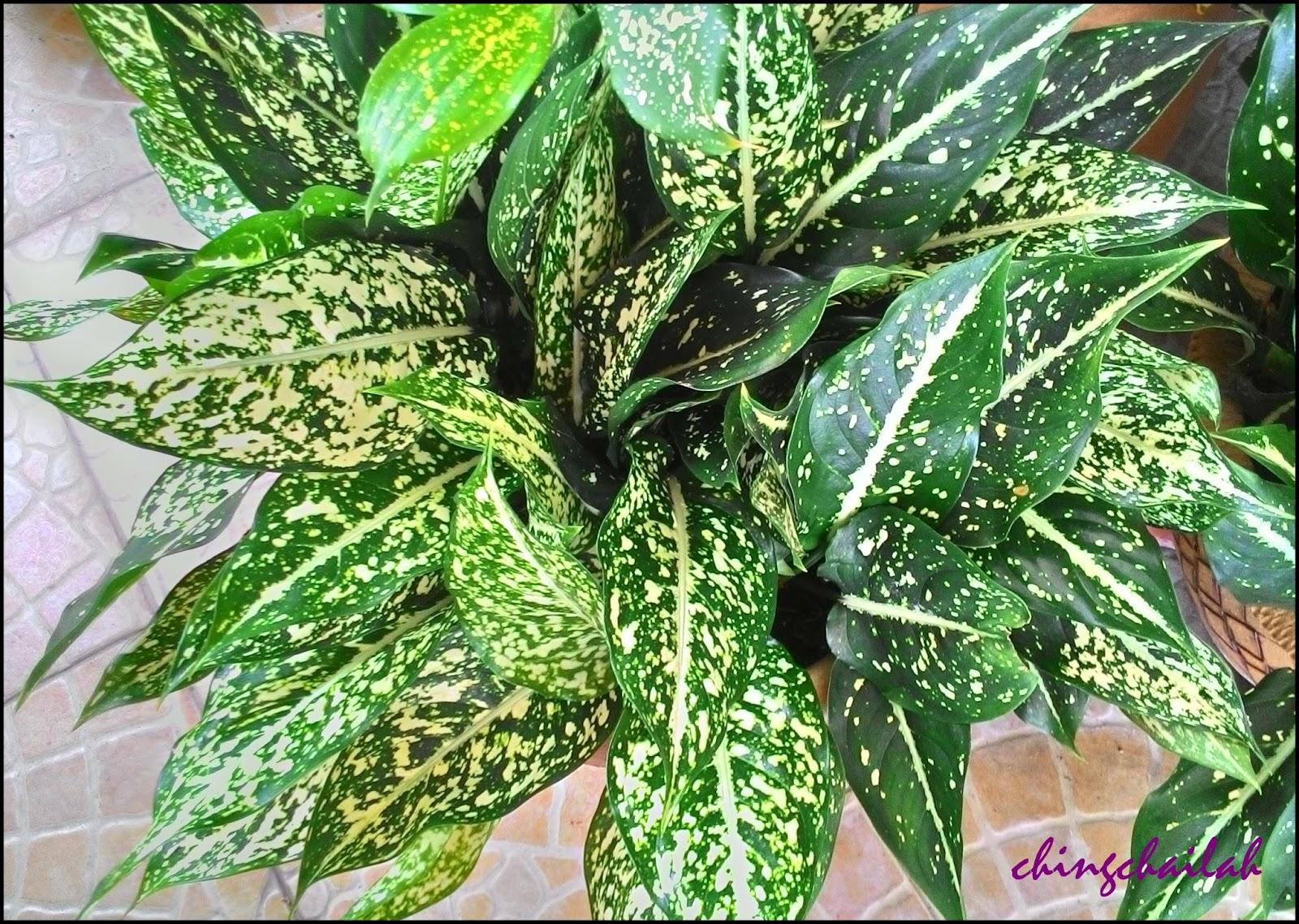 Simple living in nancy growing spotted evergreen in my garden - Suitable indoor plants ...