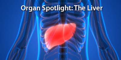 The liver is the most active organ in the human body, filtering toxins and much more.