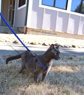 Liebe the cat on a leash