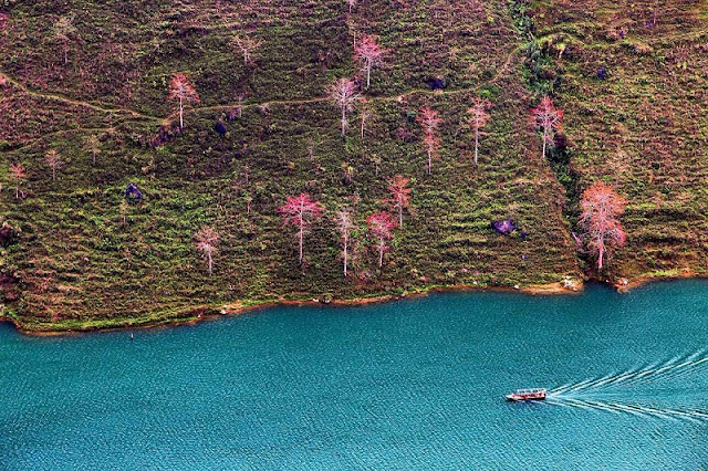 Stunning red silk cotton trees in Ha Giang prove hit among visitors 1
