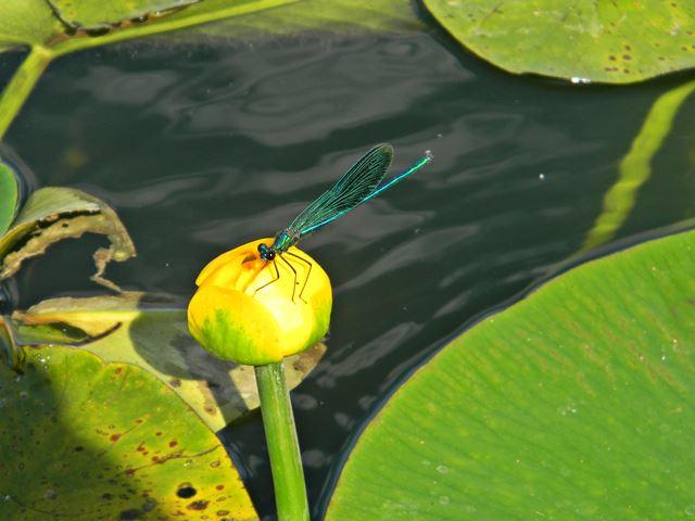 ważka, grążel żółty, jezioro, roślina wodna