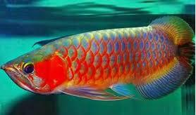 Jenis Ikan Hias Air Tawar Arwana