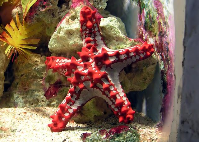 Red knobbed starfish adalah bintang laut paling cantik di dunia