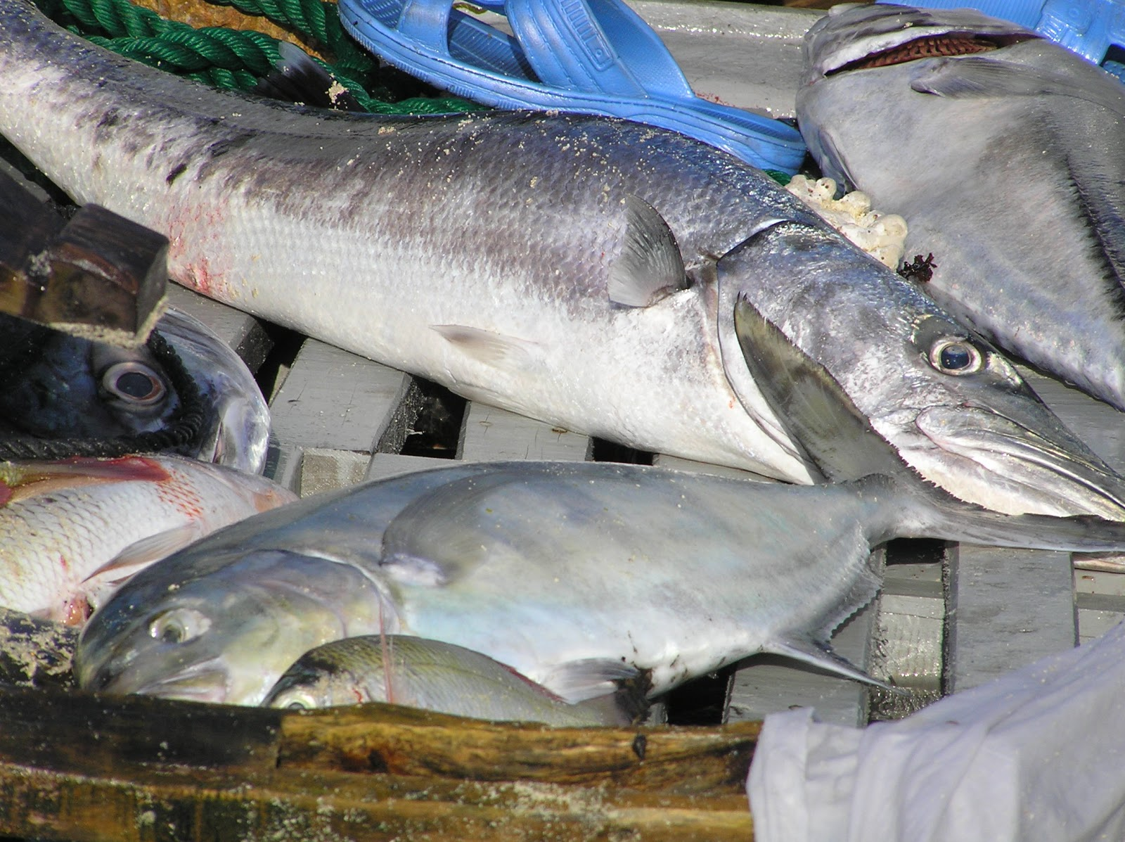 Freshwater fish of India - JungleKey.in Image