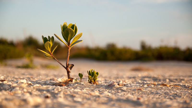 Mangrove on the Sandy Beach