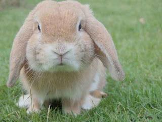 deskripsi hewan kelinci gembul