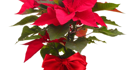 Favorite Christmas Flowers for Flower Delivery