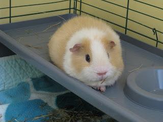 Undercover guinea pigs sleeping method king of the castle - Hamster agent secret ...