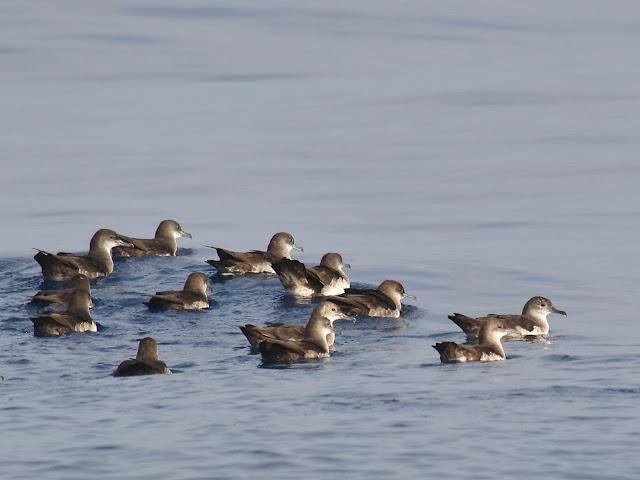 Flock of Black-vented Shearwaters