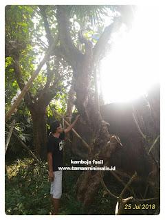 Kamboja fosil batang besar