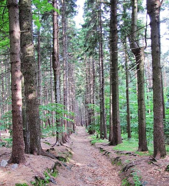 Świerkowy las na Hutniczej Górce.