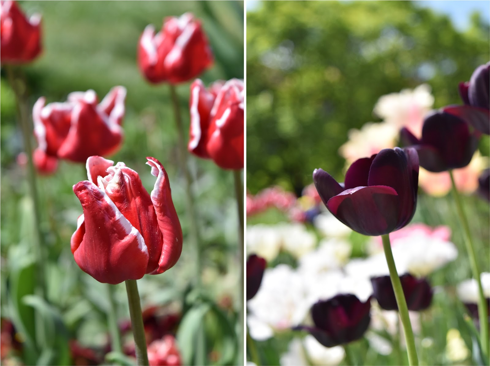 Kraków, Wawel, kwiaty na Wawelu, tulipany, Kraków w jeden dzień