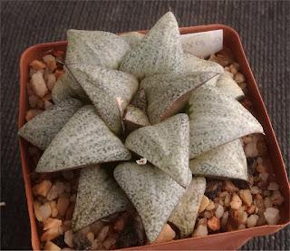 Haworthia splendens