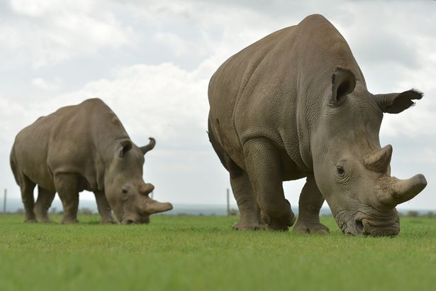 Najin (right) and Fatu (left), the only two remaining female northern white rhino