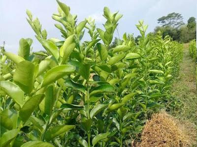 Cara Budidaya Jeruk Nipis Agar Cepat Berbuah Lebat, dri mulai menanam dari biji, perawatan hrian dan mengatasi hama dan penyakit serta panen