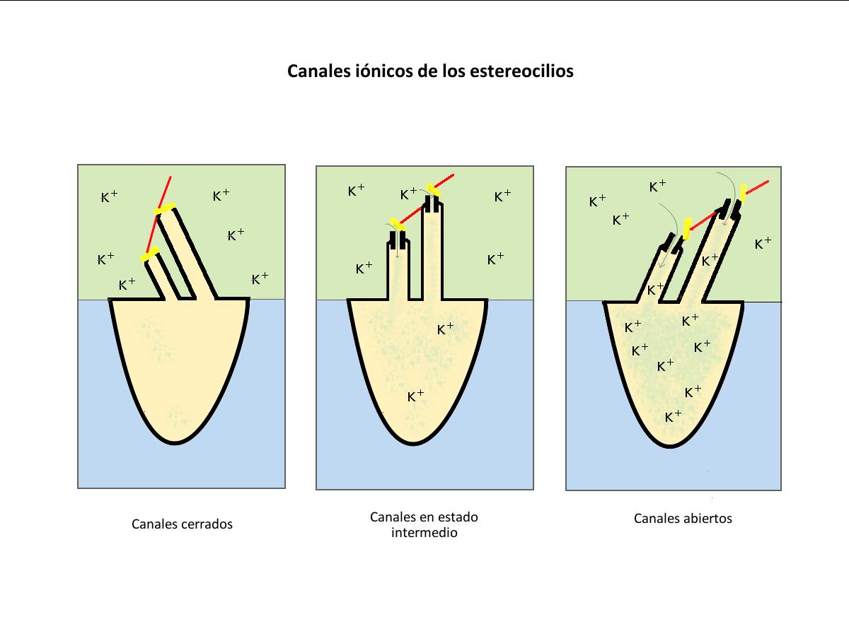 Figura 9. Ilustración de la apertura y cierre de los canales iónicos de los estereocilios.