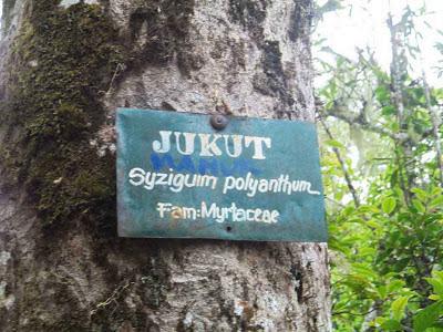 pohon jukut,hutan senaru