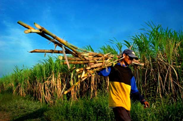 Nasib Petani Cirebon, Sudah Gula Tidak Laku, Malah Disegel Kemendag