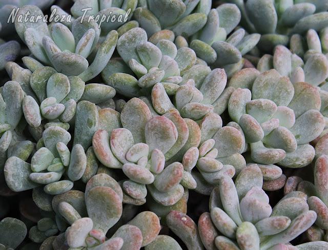 Planta suculenta llamada Pachyphytum bracteosum