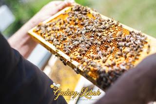 jenis lebah, ragam lebah, lebah asli indonesia, lebah ratu, lebah hutan, lebah ternak, lebah madu, madu hutan, madu, jual madu
