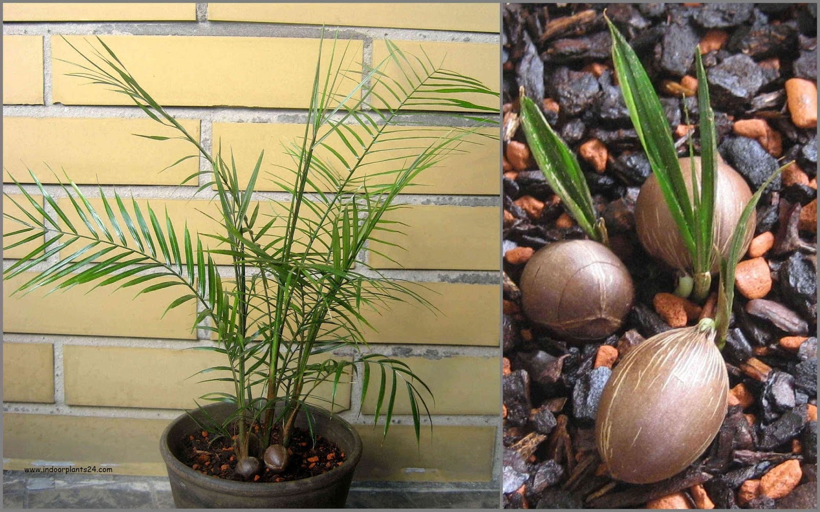 indoor%2Bpalm%2Bplant%2Bidentification Palm Looking House Plant on palm like plant thin leaves, spider mites on palm plant, palm house plant identification, palm plants care of,