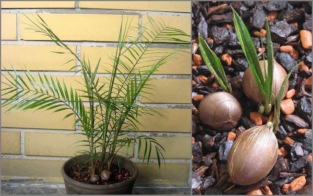 indoor palm plant identification and indoor plant care