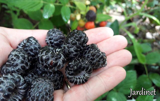 Rubus niveus, framboesa mysore, raspberry-de-mysore e do-morro
