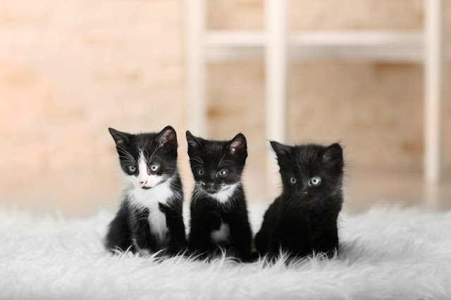 Three cute tuxedo kittens sitting on a fluffy white rug