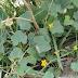 لودويجيا - ام قرينة نبتة تستخدم كالموخية