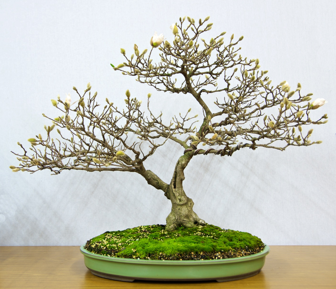 Bsv News Blog Page 9 Bonsai Society Of Victoria