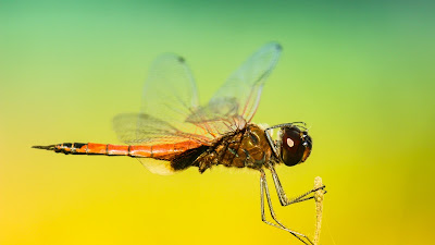 dragonfly hd resolution wallpaper