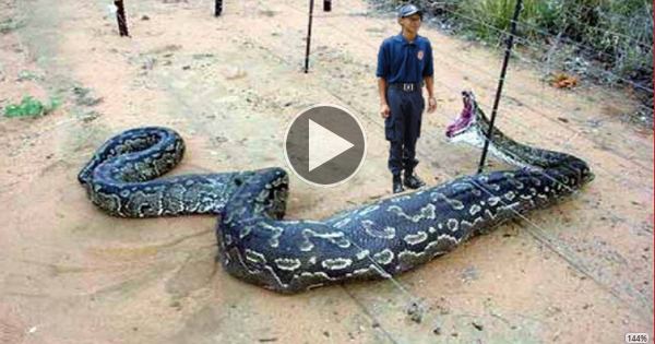OMG!!! giant snake eats a security guard - photo#2