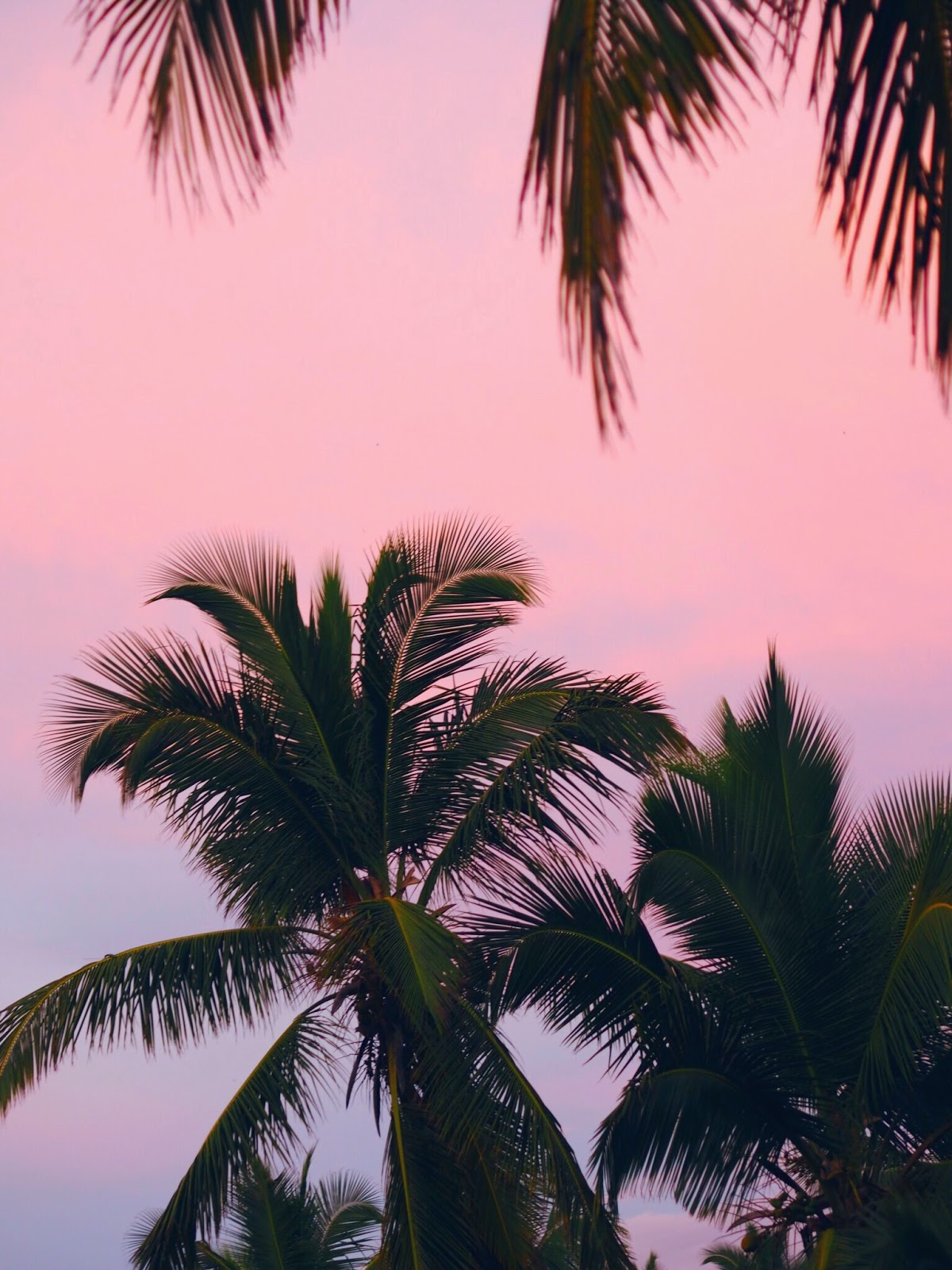 Sunset in Punta Cana Pink and Purple with Palm trees