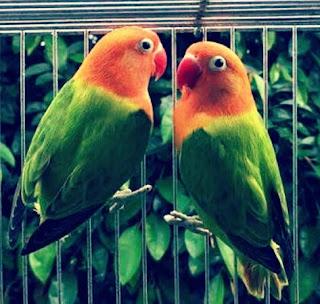 Lovebird Biola (Opaline Fischeri)